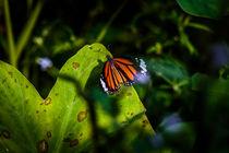 Monarch im Sonnenlicht by mroppx