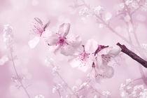 Kirschblütenzweig von darlya