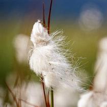 Cottonsedge von Thomas Matzl