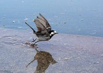Wagtail at the pond von Yuri Hope