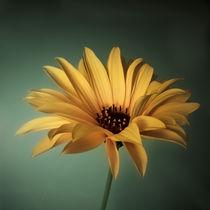 Staudensonnenblume by Josephine Mayer-Hartmann