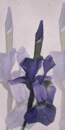 'Iris - Blaue Schwertlilie' von Chris Berger