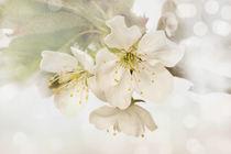 Kirschblüten von darlya