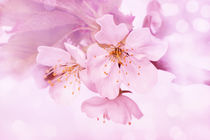Zarte Kirschblüten von darlya