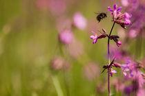Summer bumblebee by Tony Töreklint