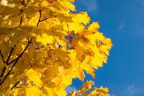 Herbstlich gefärbte Bäume by Rico Ködder