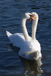 Swan Courtship  von David Pyatt
