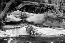 Tiger von helene