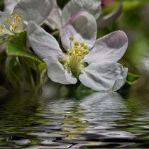 Apfelblütenwasser von Chris Berger