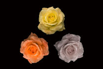 Rose Triangle von Malc McHugh