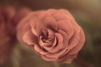 Eine einzelne Rose von oben  Vintage Look von Peter-André Sobota