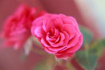 Eine einzelne Rose von oben Orginal pink von Peter-André Sobota