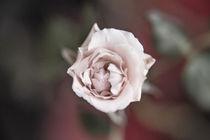 Eine einzelne Rose von oben Orginal by Peter-André Sobota