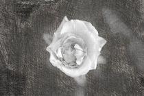 Eine einzelne Rose von oben sketch by Peter-André Sobota