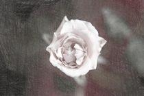 Eine einzelne Rose von oben sketch1 von Peter-André Sobota