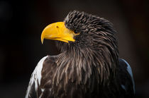 Steller's Sea-Eagle by sabina-s