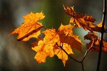 Goldener Herbst VII by meleah