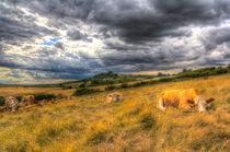 The Resting Cows by David Pyatt
