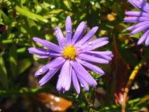 blaue Herbstaster von Angelika  Schütgens