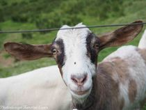 Ziegen-besucht-im-garten-am-27-dot-09-dot-2015-30