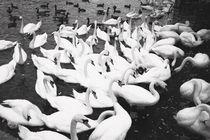 Swans by Giorgio Giussani
