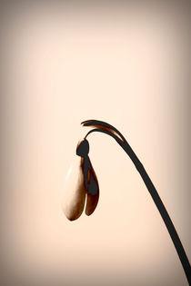 Schneeglöckchen  von Bastian  Kienitz