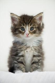 Norweger Kitten / 4 von Heidi Bollich