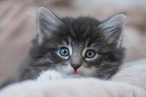 Norweger Kitten / 2 by Heidi Bollich
