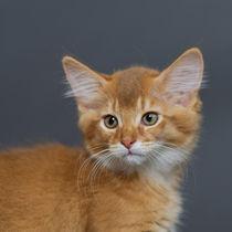 Somali Kitten / 14 by Heidi Bollich
