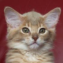 Somali Kitten / 13 von Heidi Bollich