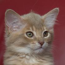 Somali Kitten / 12 by Heidi Bollich