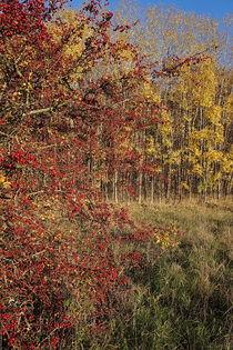 Rot-Gelber Herbst by Ronny Schmidt