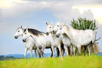 Schimmelstuten von cavallo-magazin