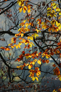 Goldener Herbst VIII by meleah