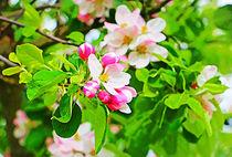 Apfelblüte II von Uwe Ruhrmann