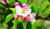 Apfelblüte III von Uwe Ruhrmann
