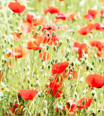 Mohn Blumen von Uwe Ruhrmann