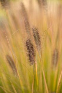 Gräser / 4 von Heidi Bollich