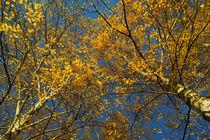 Birken im Herbst, Betula von Sabine Radtke