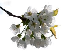 Apfelblüte High-Key von ysanne
