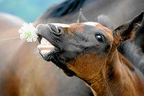 Fohlen vor der Kamera by cavallo-magazin