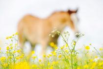 Haflinger Fohlen  von cavallo-magazin