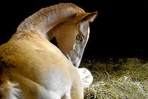 Ruhendes Fohlen  von cavallo-magazin
