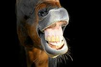 Pferd flehmt von cavallo-magazin
