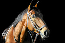Warmblut Wallach by cavallo-magazin
