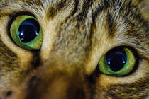 Dreamy Eyes - Bengal Cat Sam by Jens Holzhause