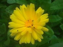 Calendulablüte by rianka