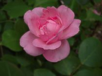 Rose Centennaire de Lourdes by Philipp Nickerl