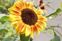 Bunte Sonnenblume von Philipp Nickerl