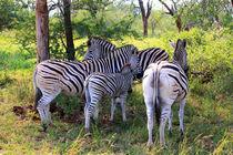 Gruppe Zebras in freier Wildnis Südafrikas  von mellieha